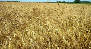 Le blé dur pour la fabrication des pâtes