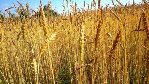 blé variété ancienne farine cuisine patisserie